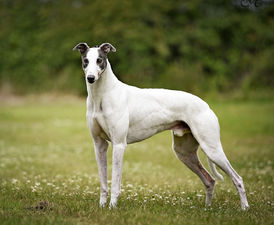 Taylors-Sky-greyhound